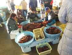 Auction: Lobsters are carried to the market one after another. See the buckets of healthy lobsters just caught from ocean.