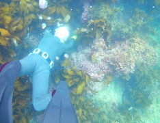 Witness how an Ama diver catches shellfish and picks seaweed by hand underwater without a diving tank.