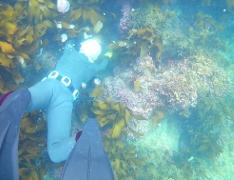 海女さんの素潜り漁を、いっしょに潜ってすぐ間近で見られます。
