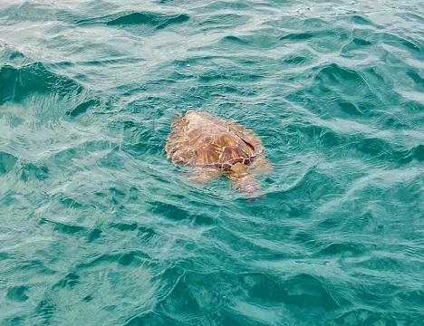 運が良ければウミガメに出会えることもあります。